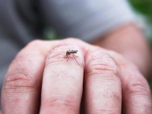 viral, dengue, chikungunya